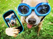 a cute chihuahua wearing goggles in the grass with his tongue out