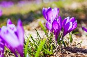 Purple crocus flower on the spring meadow. Carpathian, Ukraine, Europe. Beauty world.