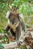 stock photo of eucalyptus leaves  - native Australian Koala bear eating eucalyptus leaves - JPG