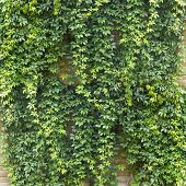 picture of creeper  - Green creeper plant - JPG