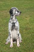 Typical English Setter In The Garden