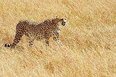 Cheetah (Acinonyx jubatus) on the Masai Mara National Reserve safari in southwestern Kenya.