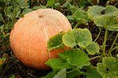 Large Ripe Pumpkin on the Vine