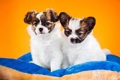 Two Cute Papillon Puppies On A Orange Background