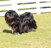 stock photo of dog eye  - A small young black Lhasa Apso dog with a long silky coat covering its face and eyes running on the grass - JPG