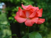 Pink Rose On Green