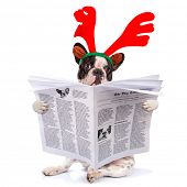 image of rudolph  - French bulldog dressed as reindeer Rudolph reading newspaper  - JPG