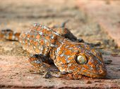 stock photo of tokay gecko  - A gecko either sunbathing or dead in Ayutthaya Historical Park in Thailand - JPG