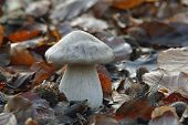 Clouded Agaric