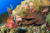 Giant moray Eel and wrasse fish