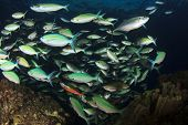 picture of shoal fish  - Shoal  - JPG
