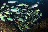 pic of shoal fish  - Shoal  - JPG