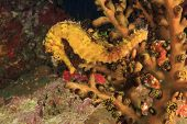 pic of seahorse  - Seahorse - JPG