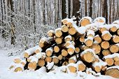Firewood store in pine forest at winter time