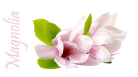 stock photo of japanese magnolia  - three Japanese magnolia flower isolated on white - JPG