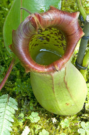 picture of nepenthes-mirabilis  - Catch bag of the tropical insectivorous plant Nepenthes - JPG