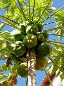 Or Yehuda Papaya