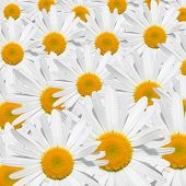 stock photo of daisy flower  - The background Daisy flower texture white and yellow - JPG