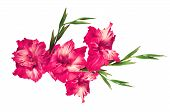 picture of gladiolus  - beautiful pink gladiolus isolated on white background - JPG