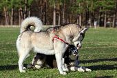 stock photo of growl  - Siberian Husky demonstrates his tongue and growls at the same time - JPG