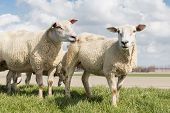 foto of dike  - Sheep at sunny day in spring on top of a dike in the Netherlands - JPG