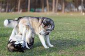 foto of husky  - Two Siberian Husky frolic on the lawn - JPG