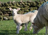 picture of spring lambs  - Cute Spring Lamb in fields, Holmfirth West Yorkshire