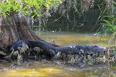 foto of alligator  - American Alligator Resting Under a Big Cypress Tree - JPG
