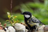 foto of tit  - Great Tit  - JPG