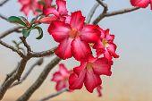 foto of desert-rose  - Beautiful pink azalea flowers tropical flowers - JPG