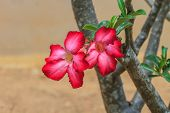 pic of desert-rose  - Beautiful pink azalea flowers tropical flowers - JPG