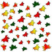 picture of canada maple leaf  - Maple leaves on a white background - JPG