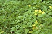 Stinging Nettle With Touch Of Yellow #02