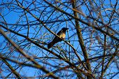stock photo of loafers  - Hooded crow on the branch of the tree in spring - JPG