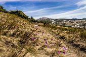 picture of rare flowers  - Mountain with lots of flowering purple crocuses among the withered grass against the background of sky - JPG