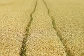 picture of track field  - Two tractor tracks in a corn field - JPG