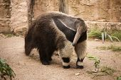 stock photo of ant-eater  - A Giant Anteater walking in the zoo  - JPG