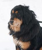 image of tibetan  - Tibetan nice Mastiff sitting on white snow - JPG