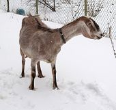 stock photo of nubian  - Nubian brown goat standing on white snow - JPG