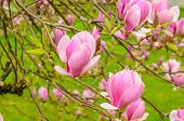 stock photo of magnolia  - Perfect Blossom - JPG
