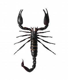pic of scorpion  - Scorpion - JPG