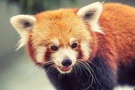 stock photo of panda  - Portrait of a Red Panda - JPG