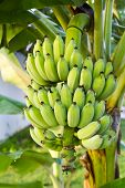 Bundle Banana