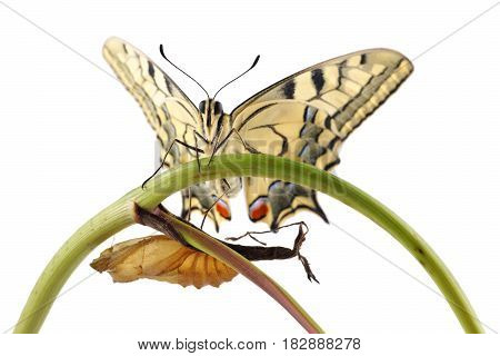 Old World Swallowtail (Papilio machaon) butterfly perched on a branch next to the cocoon from which they hatched all on a white background
