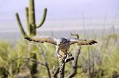 stock photo of small-hawk  - A grey hawk with his wings spread perched on a dead cactus - JPG