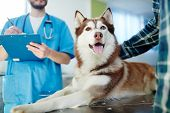 Husky dog lying on vet table with doctor and master near by poster