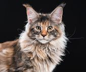 Portrait of domestic tortoiseshell Maine Coon kitten. Fluffy kitty on black background. Adorable cur poster