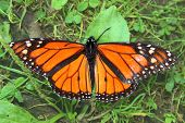 Monarch Butterfly (Danaus plexippus)