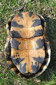 Blandings Turtle Plastron