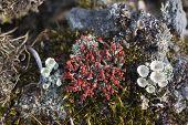Cladonia Coccifera